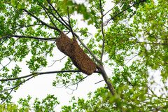 Enjambre de la abeja en una rama de árbol Foto de archivo