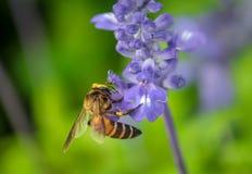 Enjambre de la abeja las flores en el jardín Imágenes de archivo libres de regalías