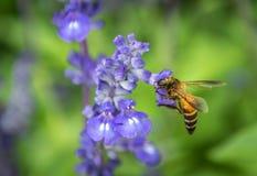 Enjambre de la abeja las flores en el jardín Imagen de archivo