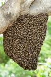 Enjambre de la abeja real que se aferra en árbol Imagen de archivo