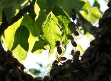Enjambre de la abeja de la tarde Abejas el pulular Formación abejas de nuevas de una familia de la colonia Fotografía de archivo libre de regalías