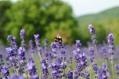 Enjambre de la abeja una lavanda en un campo Foto de archivo libre de regalías