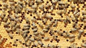 Enjambre de la miel del producto de las abejas