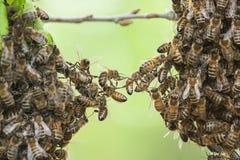 Enjambre de las abejas Foto de archivo libre de regalías