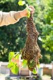 Enjambre de las abejas con la mano del ` s del apicultor - abejas en gran número en rama de árbol Fotos de archivo