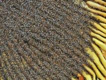 Enjambre de las abejas de la miel Imagen de archivo libre de regalías