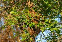 Enjambre de las abejas de la miel en primavera Imagenes de archivo
