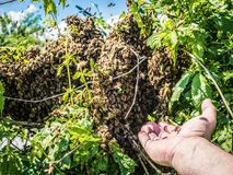 Enjambre de las abejas en el verano Fotos de archivo libres de regalías