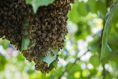 Enjambre de las abejas - abejas en gran número en rama de árbol Imagenes de archivo