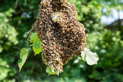 Enjambre de las abejas - abejas en gran número en rama de árbol Fotografía de archivo libre de regalías