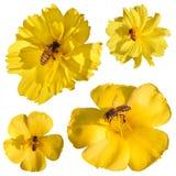 Enjambre de las abejas en la flor amarilla aislada Fotos de archivo libres de regalías