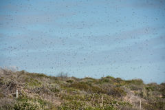 Enjambre de las abejas para el vuelo de la boda de la reina Fotos de archivo libres de regalías
