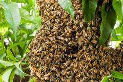 Enjambre de las abejas que construyen el tiro de la macro de la colmena Imágenes de archivo libres de regalías