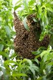 Enjambre de las abejas que construyen la colmena en un árbol de melocotón Fotos de archivo