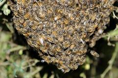 Enjambre de las abejas que cuelgan en un árbol Fotos de archivo libres de regalías