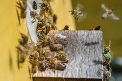 Enjambre de las abejas que recolectan cerca de la entrada de la colmena Fotos de archivo libres de regalías