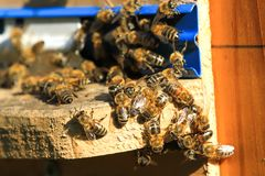 Enjambre de las abejas que trabajan en la colmena Insecto salvaje del grupo de la naturaleza Fotos de archivo libres de regalías