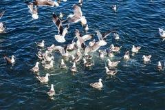 Enjambre de las gaviotas que luchan en el océano Imagen de archivo
