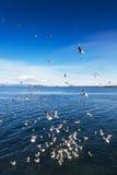 Enjambre de las gaviotas que luchan en el océano Fotografía de archivo libre de regalías