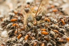 Enjambre de las hormigas que come la abeja muerta Imágenes de archivo libres de regalías