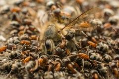 Enjambre de las hormigas que come la abeja muerta Fotos de archivo