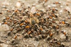Enjambre de las hormigas que come la abeja muerta Imagen de archivo libre de regalías