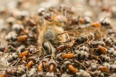 Enjambre de las hormigas que come la abeja muerta Fotografía de archivo libre de regalías