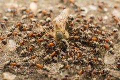 Enjambre de las hormigas que come la abeja muerta Foto de archivo
