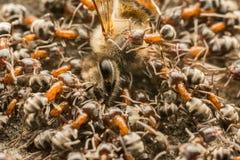 Enjambre de las hormigas que come la abeja muerta Imagen de archivo