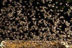 Enjambre de las moscas de abejas sobre las pruebas abiertas en una luz de la tarde Imagenes de archivo