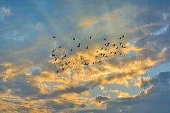 Enjambre de las palomas que vuelan en puesta del sol Imágenes de archivo libres de regalías