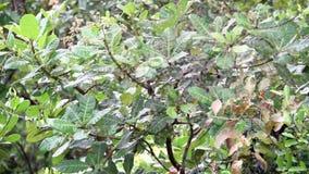 Enjambre de los mosquitos y de los mosquitos que vuelan en las zonas tropicales metrajes