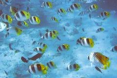 Enjambre de los pescados de mariposa Fotos de archivo libres de regalías