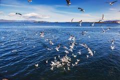 Enjambre de luchar de las gaviotas Fotografía de archivo libre de regalías