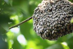Enjambre de muchas abejas en una rama de árbol Fotografía de archivo libre de regalías