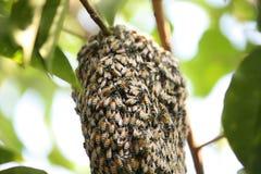 Enjambre de muchas abejas en una rama de árbol Foto de archivo