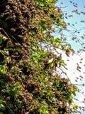 Enjambre enorme de abejas en Honey Suckle Foto de archivo libre de regalías