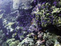 Enjambre juvenil púrpura de los pescados Imagen de archivo
