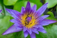 Enjambre púrpura de la abeja del loto Foto de archivo libre de regalías