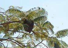 Enjambre salvaje de las abejas Fotografía de archivo libre de regalías