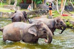 enjoing在水中的婴孩大象在巴厘岛,印度尼西亚 免版税图库摄影
