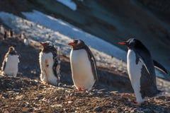 enjoing太阳的几只gentoo企鹅小鸡在Barrientos 免版税库存图片