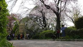 Enjoy blühende Kirschblüte Bäume im Frühjahr, Tokyo, Japan stock video footage
