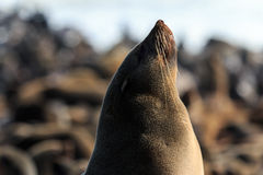Enjoy the sun! Cape fur seal Royalty Free Stock Photo