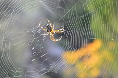Spider on its web enjoying afternoon sun Stock Photos