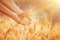 Enjoying golden wheat field Stock Photography