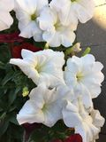 Enjoying the many floral and flora in the summer. Closeup of some beautiful white flowers royalty free stock images