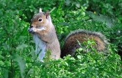 Enjoying a nut Stock Image