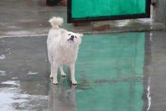 Enjoying Rain. Dog enjoying in rain feeling awesome royalty free stock photo