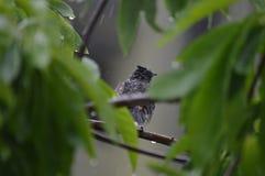Enjoying rain. Red vented bulbul bird enjoying rain royalty free stock images